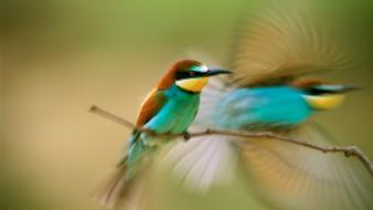 National geographic bee eaters birds wallpaper