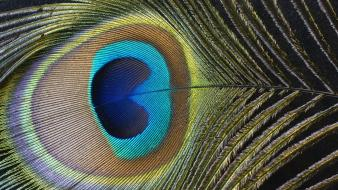 Textures feathers macro peacocks wallpaper