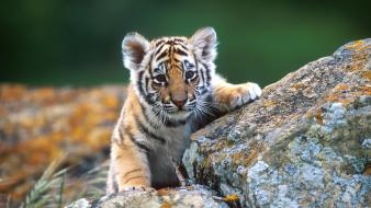 Animals tigers baby wallpaper