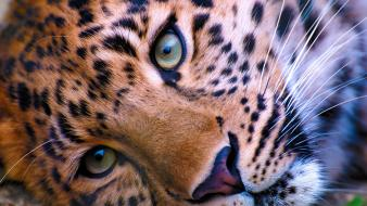 Close-up animals leopards Wallpaper