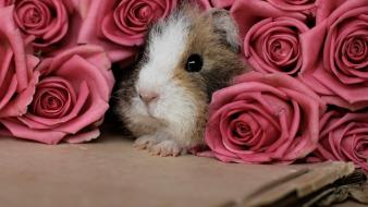 Flowers animals cardboard guinea pigs roses pink wallpaper