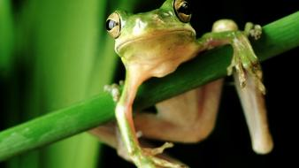 Green close-up nature frogs wallpaper