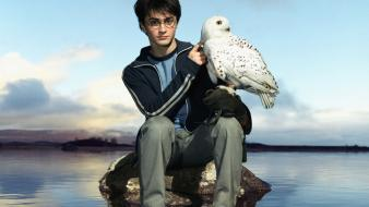 Harry potter owls daniel radcliffe hollywood hedwig wallpaper