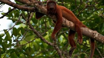 Nature animals monkeys branches wallpaper