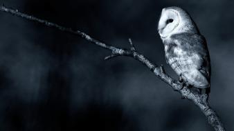 Nature owls branch barn owl wallpaper