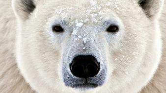 Nature polar bears white bear wallpaper