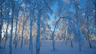 Nature winter snow sun forest leaves frost wallpaper