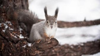 Nature winter snow trees animals squirrels wallpaper