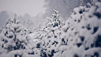 Nature winter snow trees pine wallpaper
