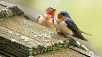 Swallow birds wallpaper