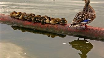Water ducks duckling reflections baby birds Wallpaper