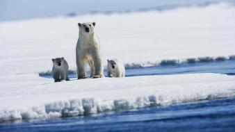 Animals baby bears ice polar Wallpaper