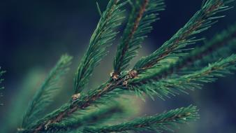 Close-up nature trees pine wallpaper