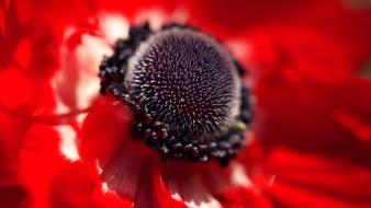 Flowers macro red wallpaper