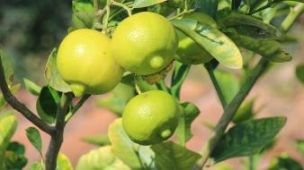 Fruits limes fruit trees Wallpaper