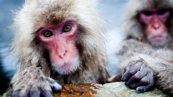 Geographic hot springs snow monkey japanese macaque Wallpaper