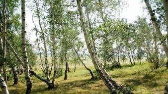 Green nature trees forest birch wallpaper