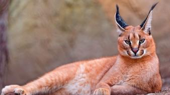 Nature cats animals long ears caracal wild wallpaper