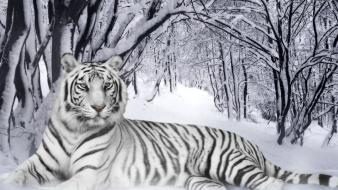 Nature winter snow trees forest tigers white tiger wallpaper