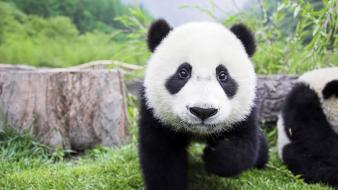 Animals backgrounds fluffy mammals panda bears wallpaper