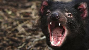 Animals carnivorous tasmanian devil wallpaper