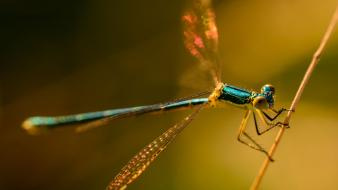 Animals damselfly wallpaper