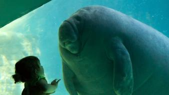 Animals manatee wallpaper