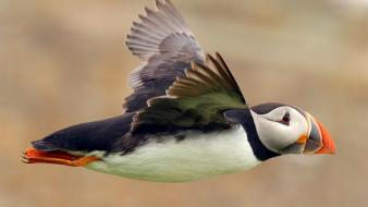 Animals puffin birds Wallpaper