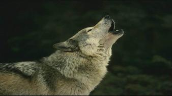 Howling wolf wolves wallpaper