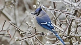 Ice blue jay branches birds wallpaper