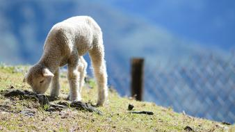Lamb baby animals wallpaper