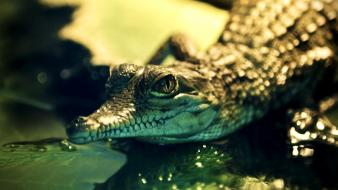 Young bokeh alligators reptiles wallpaper
