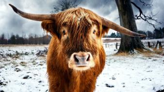 Animals cows highland cattle wallpaper