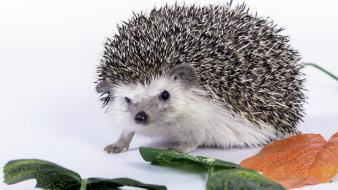 Animals hedgehogs mammals wallpaper