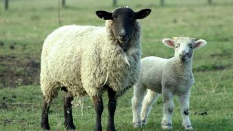 Animals sheep lambs wallpaper