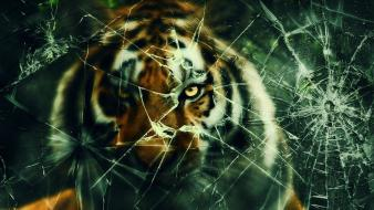 Cats broken glass tigers hunting wallpaper