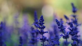 Flowers lavender blue wallpaper