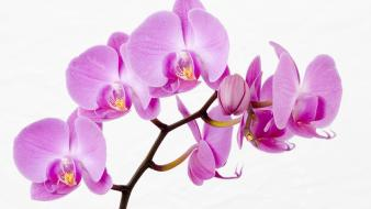 Flowers white background orchids pink wallpaper