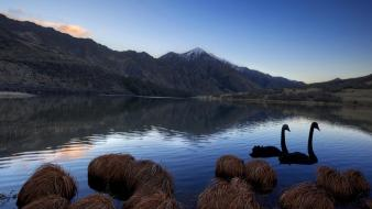 Landscapes nature swans lakes wallpaper