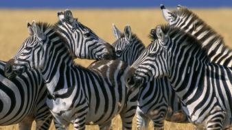 Nature animals zebras national mara plains kenya wallpaper