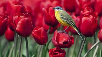 Nature flowers birds tulips wagtails wallpaper