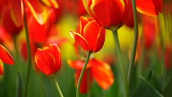 Nature flowers tulips red wallpaper