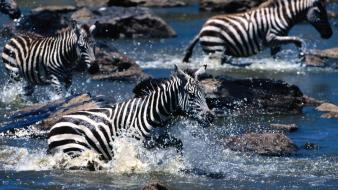 Nature zebras wallpaper