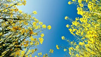 Skyscapes yellow flowers wallpaper
