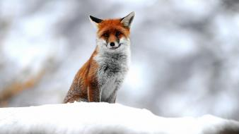 Snow animals foxes Wallpaper