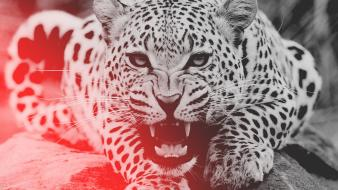 Angry leopards wild wallpaper