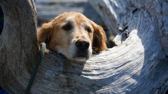 Animals dogs tree trunk Wallpaper