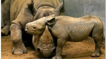 Animals rhinoceros baby Wallpaper