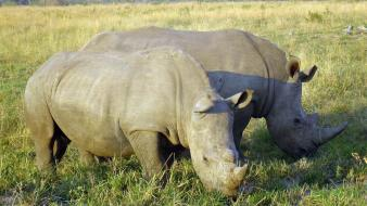 Animals south africa rhinoceros wallpaper