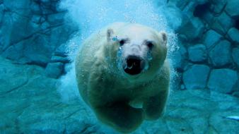 Animals swimming polar bears wallpaper